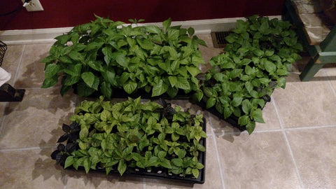 3 trays of pepper plants