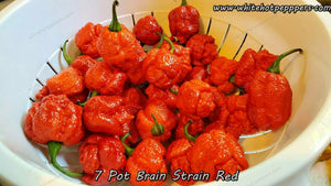 7 Pot Brain Strain Red - Pepper Seeds - White Hot Peppers