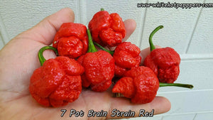 7 Pot Brain Strain Red (Isolated) - Pepper Seeds - White Hot Peppers