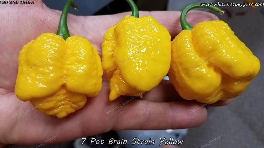 7 Pot Brain Strain Yellow - Pepper Seeds - White Hot Peppers