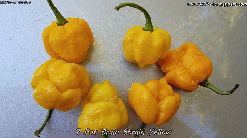 7 Pot Brain Strain Yellow (Isolated) - Pepper Seeds - White Hot Peppers