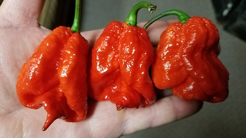 7 Pot Congo SR Gigantic Red - Pepper Seeds - White Hot Peppers