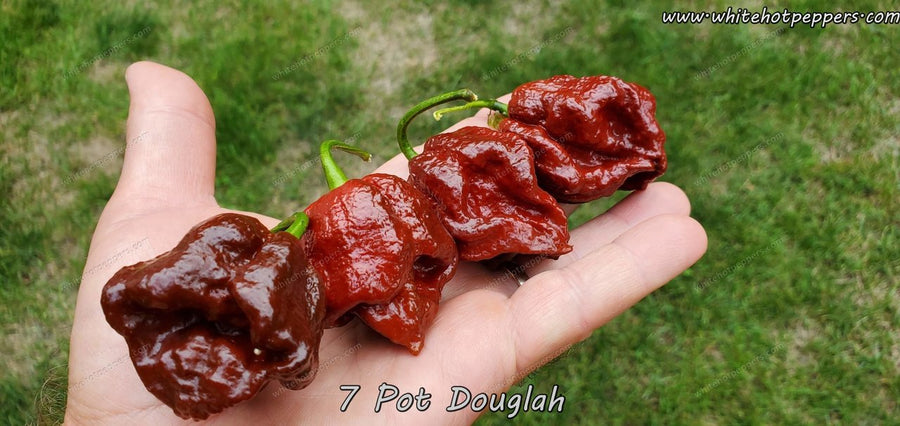 7 Pot Douglah - Pepper Seeds - White Hot Peppers