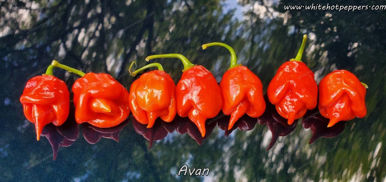 Avan - Pepper Seeds - White Hot Peppers