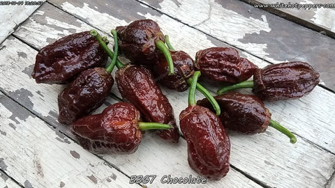 7 Pot Bubblegum (BBG7) Chocolate - Pepper Seeds - White Hot Peppers