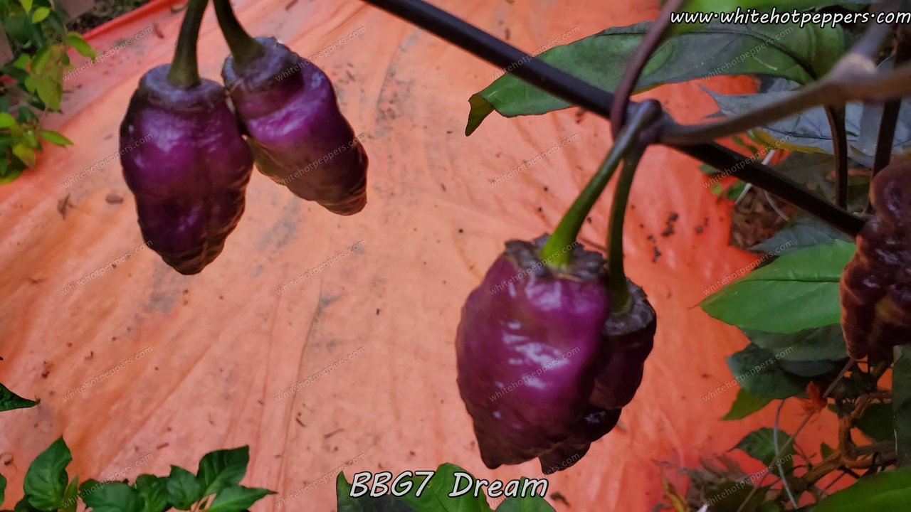 BBG7 Dream - Pepper Seeds - White Hot Peppers