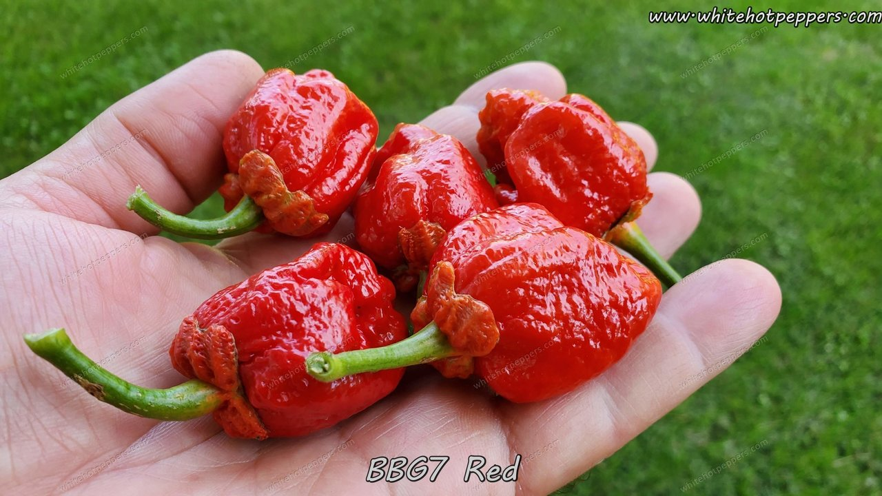 7 Pot Bubblegum (BBG7) Red (Isolated) - Pepper Seeds - White Hot Peppers