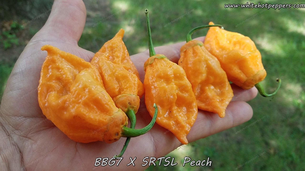 BBG7 x SRTSL (Peach) - Pepper Seeds - White Hot Peppers