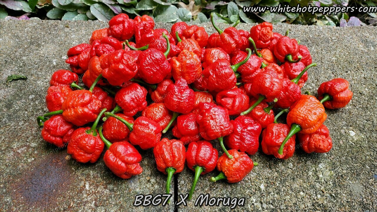 7 Pot Bubblegum (BBG7) Moruga (No Calyx) - Pepper Seeds - White Hot Peppers