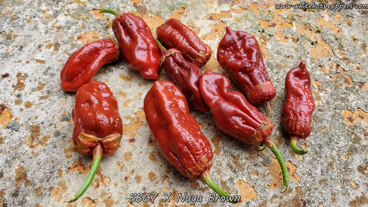 7 Pot Bubblegum (BBG7) x Naga (Brown) - Pepper Seeds - White Hot Peppers