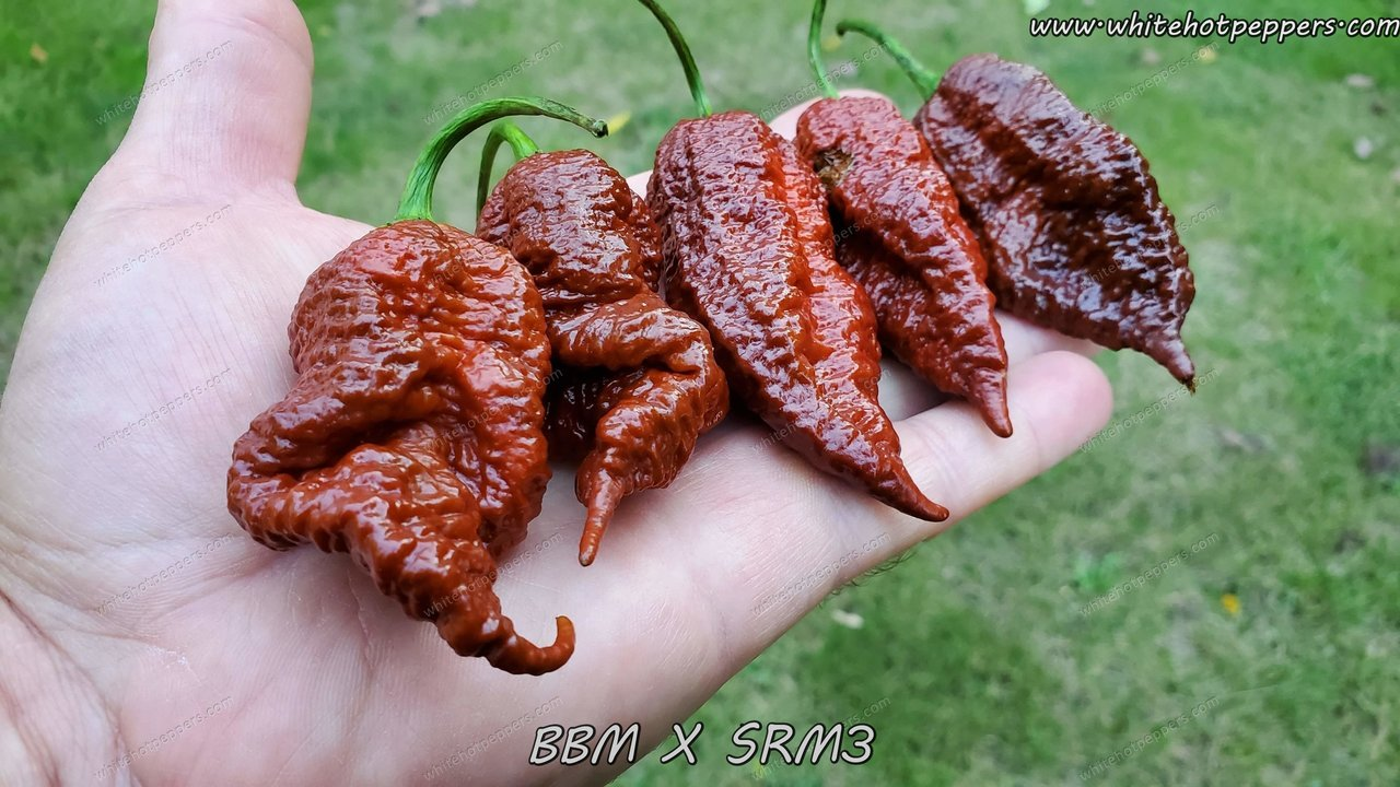 BBM x SRM3 - Pepper Seeds - White Hot Peppers