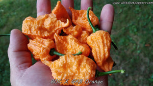 BOC x GKB Orange - Pepper Seeds - White Hot Peppers