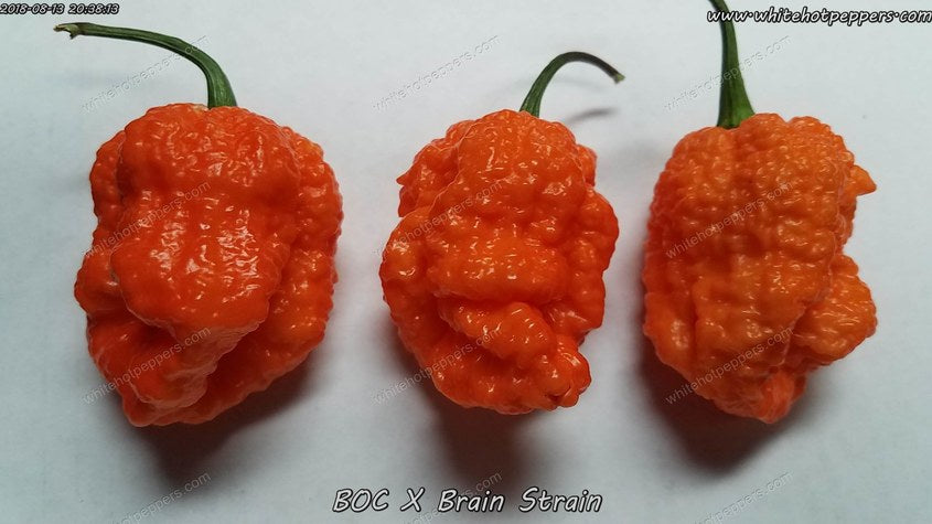 BOC x Brain Strain - Pepper Seeds - White Hot Peppers