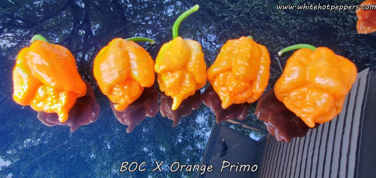 BOC x Orange Primo - Pepper Seeds - White Hot Peppers