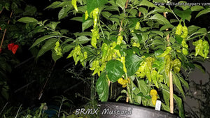 BRMX Mustard - Pepper Seeds - White Hot Peppers