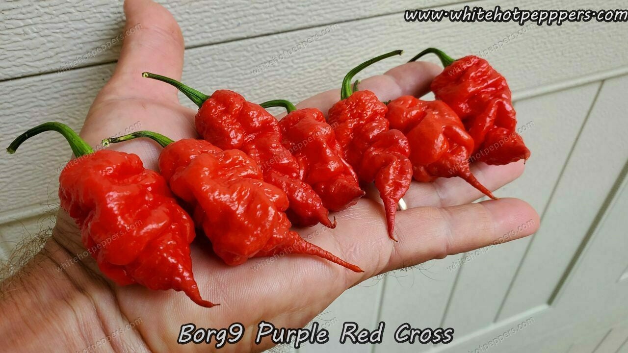 Borg 9 Purple/Red - Pepper Seeds - White Hot Peppers