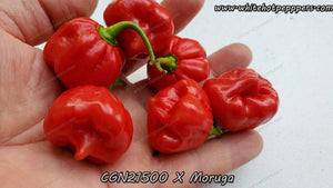CGN21500 x Moruga (Red) - Pepper Seeds - White Hot Peppers