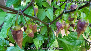 JPGS x BBG7 Dream - Pepper Seeds - White Hot Peppers
