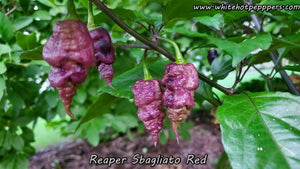 Reaper Sbagliato Red - Pepper Seeds - White Hot Peppers