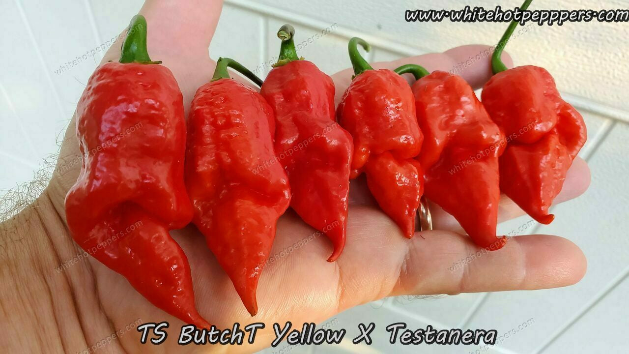 TS ButchT Yellow x Testanera - Pepper Seeds - White Hot Peppers