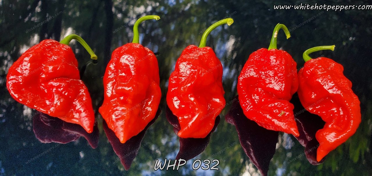 WHP 032 - Pepper Seeds - White Hot Peppers