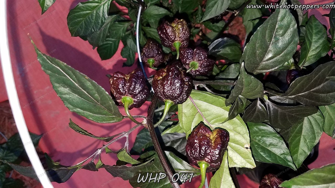 WHP 041 - Pepper Seeds - White Hot Peppers