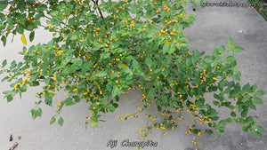 Aji Charapita - Pepper Seeds - White Hot Peppers
