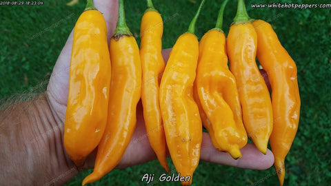 Aji Golden - Pepper Seeds - White Hot Peppers