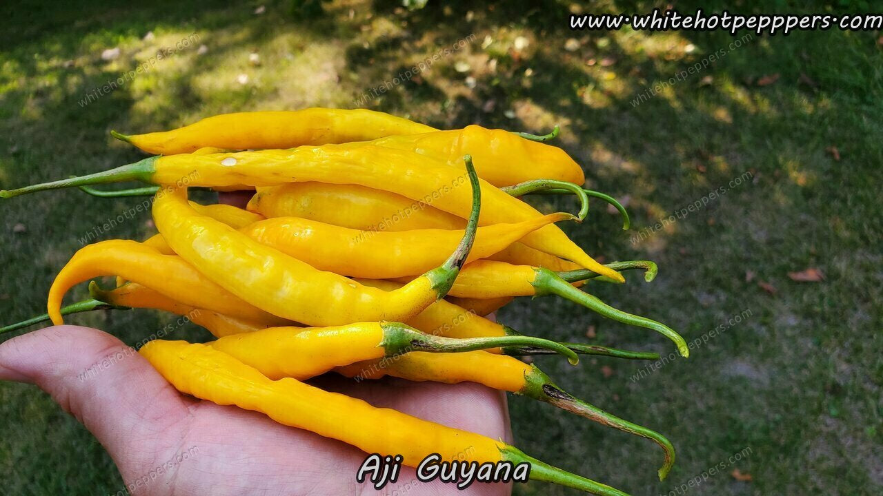 Aji Guyana - Pepper Seeds - White Hot Peppers