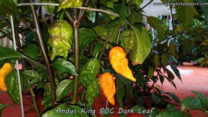 Andy's King BOC (Dark Leaf) - Pepper Seeds - White Hot Peppers