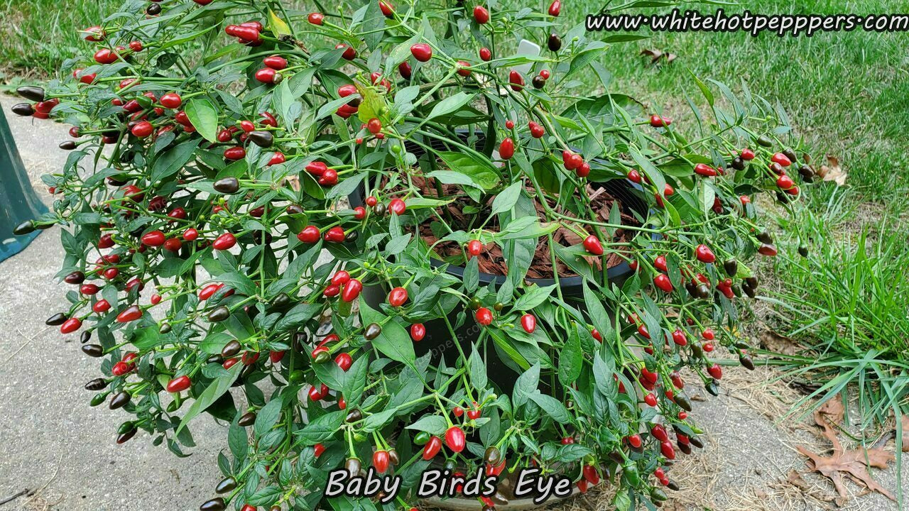 Bird's Eye Baby - Pepper Seeds - White Hot Peppers