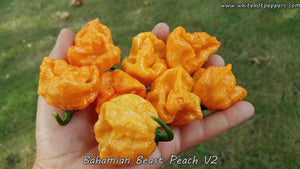 Bahamian Beast Peach V2 - Pepper Seeds - White Hot Peppers