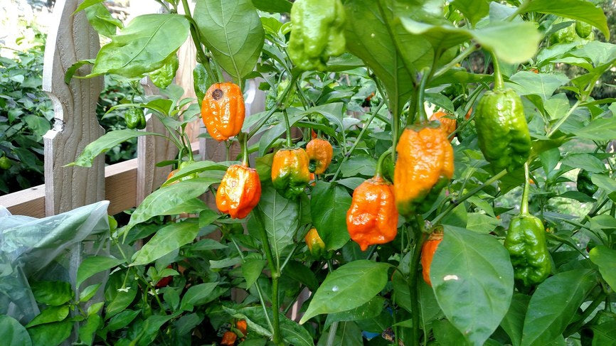 7 Pot Bubblegum (BBG7) Naga Orange - Pepper Seeds - White Hot Peppers