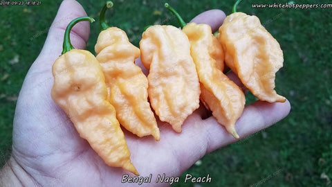 Bengal Naga Peach - Non Isolated Seeds - White Hot Peppers