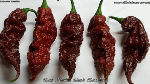 Bhut Jolokia (Ghost) Giant Chocolate - Non Isolated Seeds - White Hot Peppers