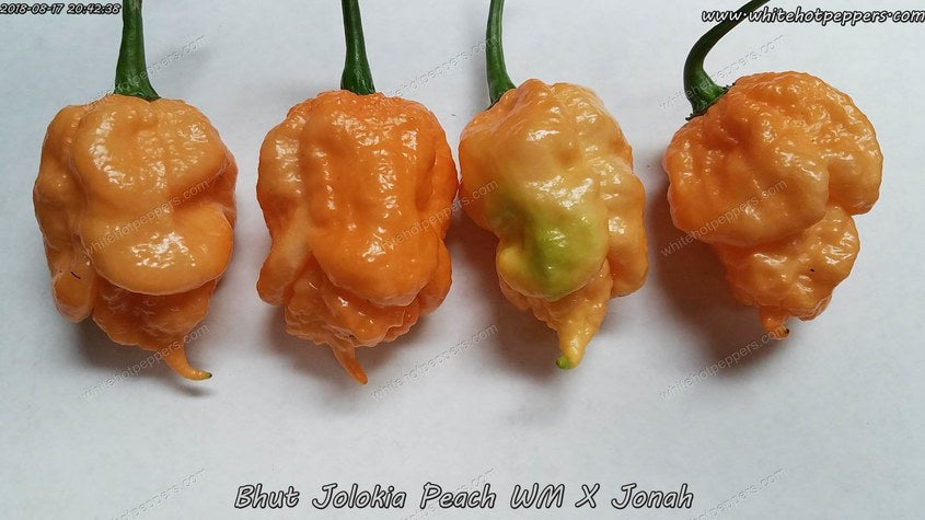 Peach Bhut WM x Jonah - Pepper Seeds - White Hot Peppers