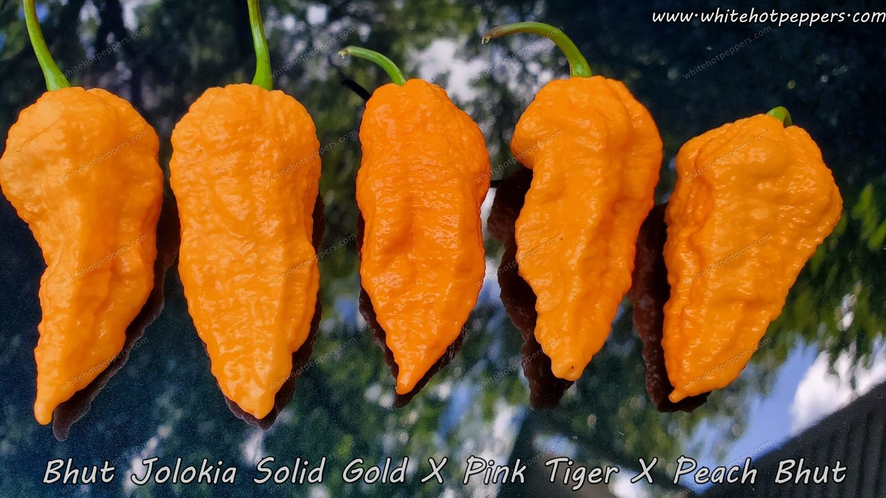 Bhut Jolokia Solid Gold x (Pink Tiger x Peach Bhut) - Pepper Seeds - White Hot Peppers