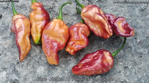 Bhut x Neyde - Non Isolated Seeds - White Hot Peppers