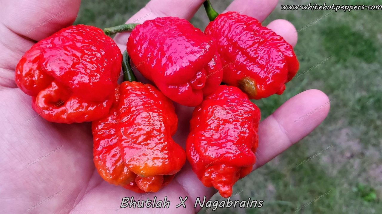 Bhutlah x Nagabrains - Pepper Seeds - White Hot Peppers