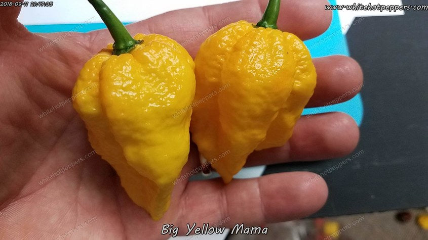 Big Yellow Mama (Isolated) - Pepper Seeds - White Hot Peppers