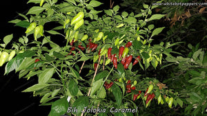 Bih Jolokia Caramel - Pepper Seeds - White Hot Peppers