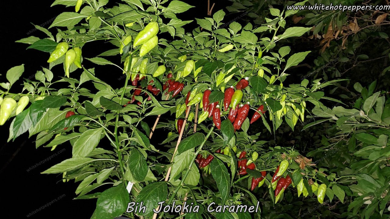 Bih Jolokia Caramel (Isolated) - Pepper Seeds - White Hot Peppers