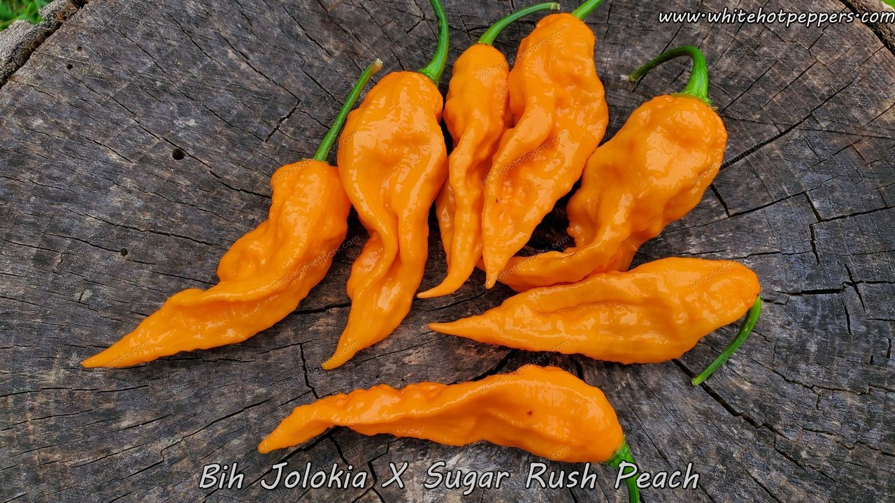 Bih Jolokia x Sugar Rush Peach (Isolated) - Pepper Seeds - White Hot Peppers