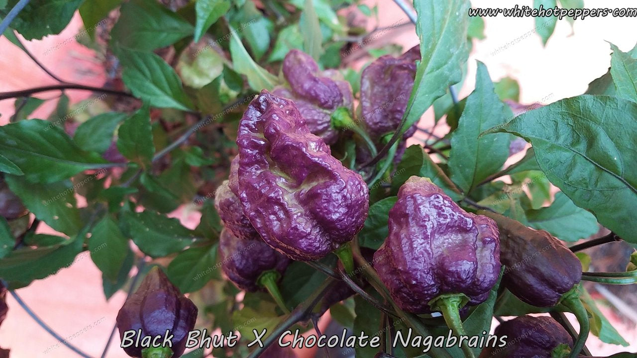 Black Bhut x Chocolate Nagabrains - Pepper Seeds - White Hot Peppers