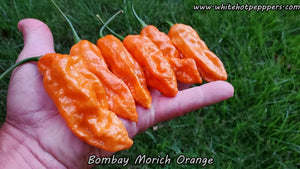 Bombay Morich Orange (Isolated) - Pepper Seeds - White Hot Peppers
