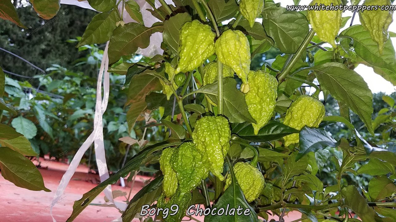 Borg 9 Chocolate - Pepper Seeds - White Hot Peppers
