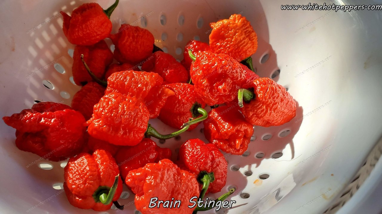 Brain Stinger - Pepper Seeds - White Hot Peppers
