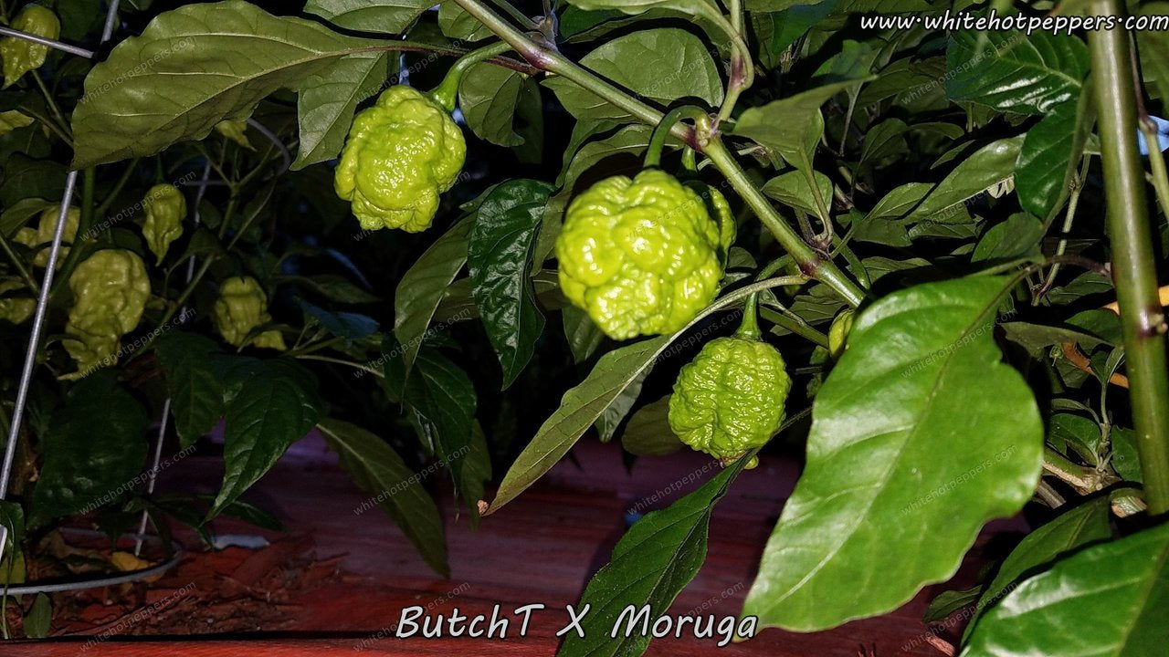 ButchT x Moruga - Pepper Seeds - White Hot Peppers