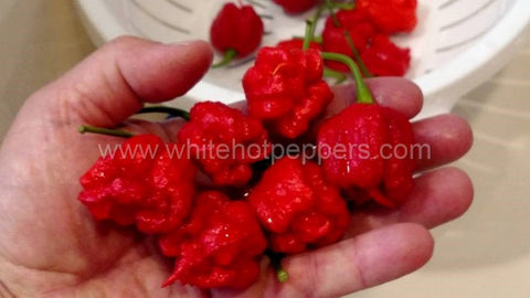 Carolina Reaper - Non Isolated Seeds - White Hot Peppers