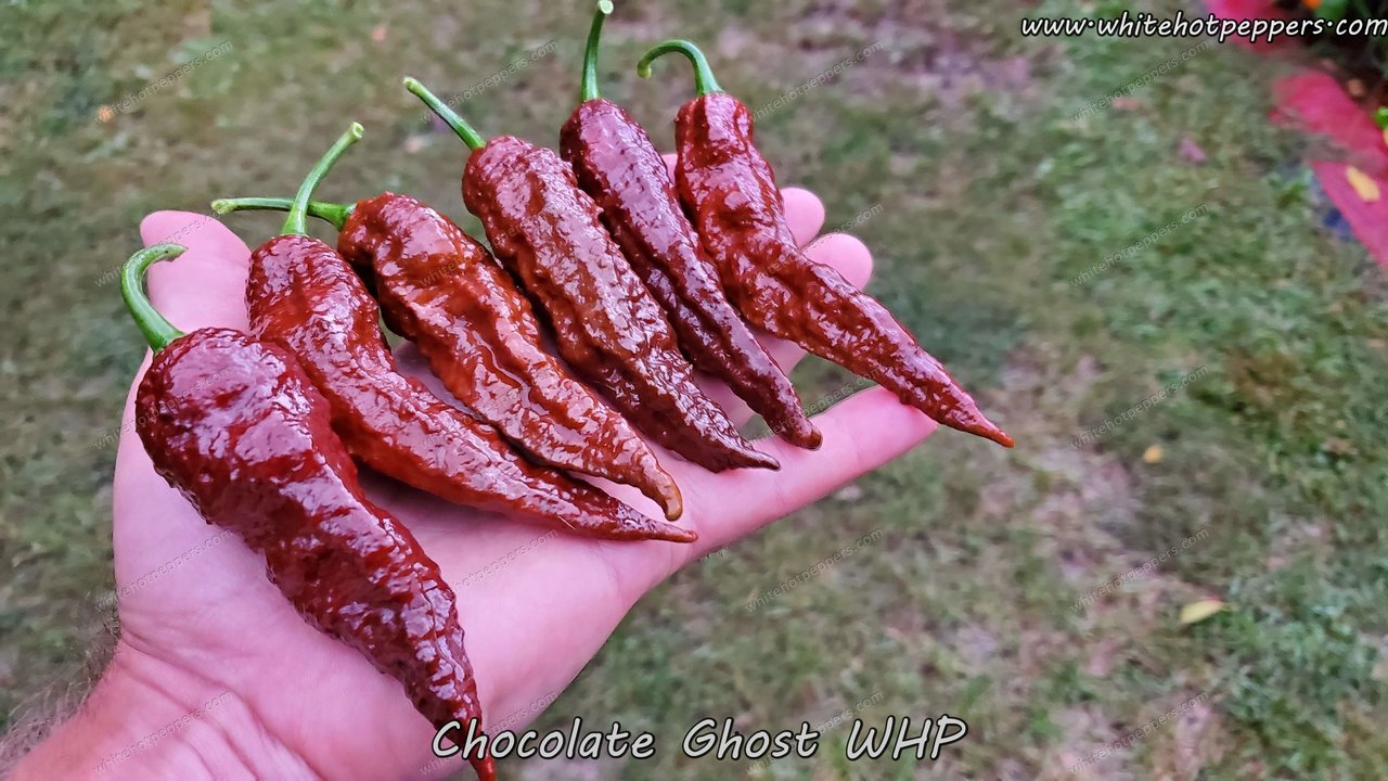 Chocolate Ghost WHP - Pepper Seeds - White Hot Peppers